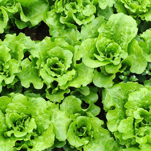 coltivazione di insalata - quarta gamma - substrato perlite espansa fine Agrilit 1
