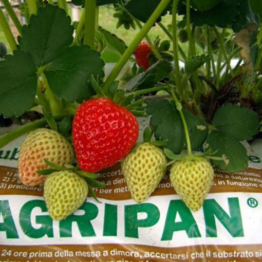 coltivazione di fragola in fuori suolo - grow bags Agripan cocco perlite