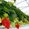 substrati Agripan per la coltivazione di fragole fuori suolo
