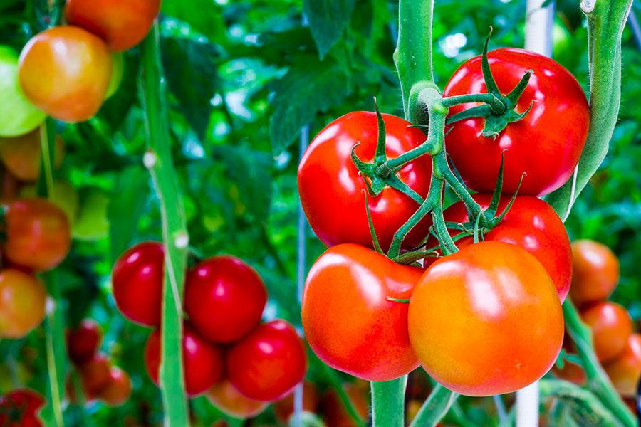agricoltura - coltivazione fuori suolo di specie ortoflorovivaistiche su perlite espansa