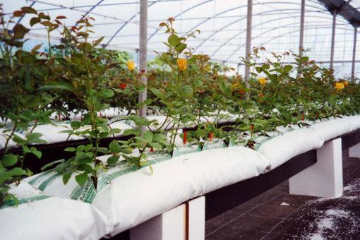 coltivazione di rosa fuori suolo su substrati Agripan a base perlite espansa