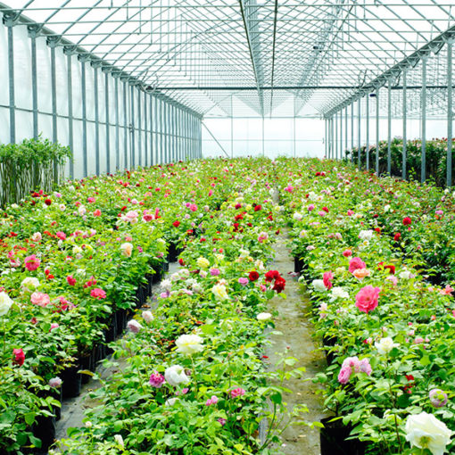 coltivazione di rosa su terricci professionali Perliter