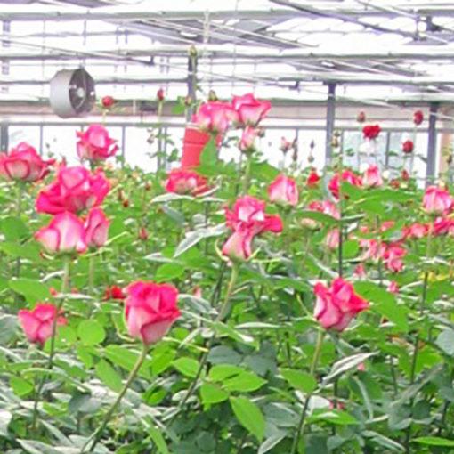 coltivazione di rose fuori suolo in grow bags Agripan