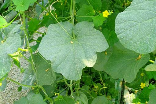 coltivazione di fragola fuori suolo in grow bags Agripan, miscela cocco e perlite