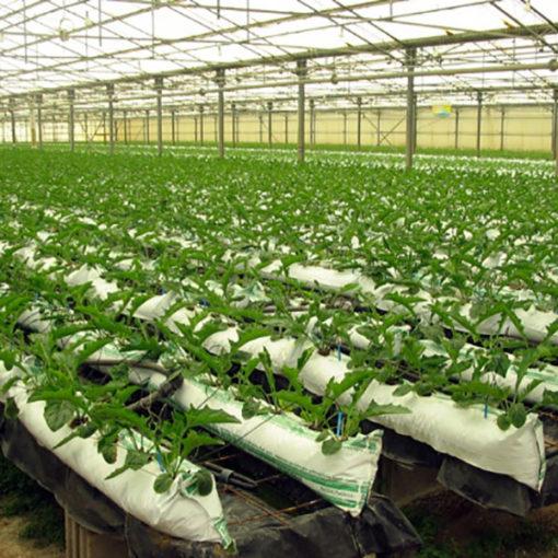 coltivazione di gerbera in sacchetti Agripan perlite