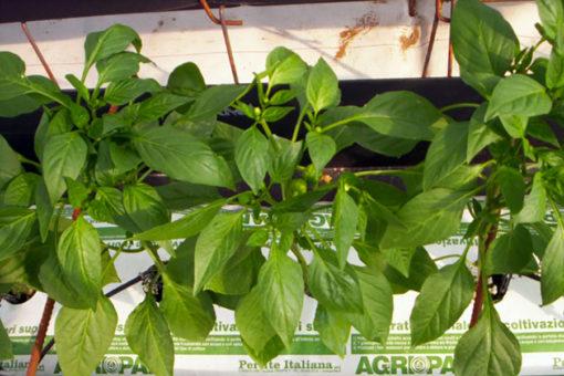 coltivazione di peperone in sacchetti di coltivo Agripan perlite