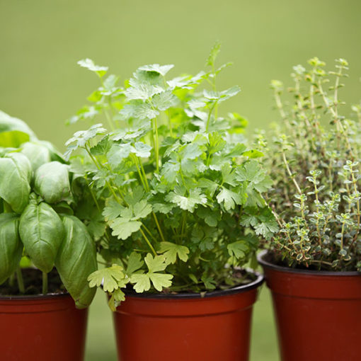 coltivazione di piante annuali a ciclo breve - rinvaso - su substrato di coltivo professionale Perliter