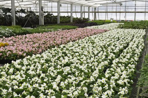coltivazione di piante verdi fiorite a ciclo medio su substrati di coltivazione Perliter