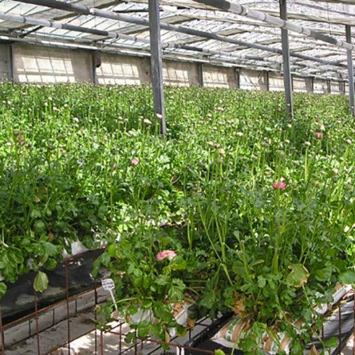 coltivazione di ranuncolo in fuori suolo su grow bags Agripan con substrati a base perlite espansa e cocco