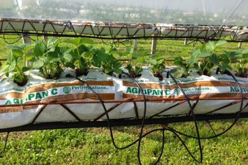grow bags Agripan per la coltivazione di fragola in fuori suolo