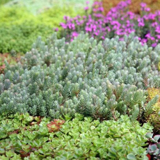 sedum e crassulacee - vegetazione per tetti verdi estensivi