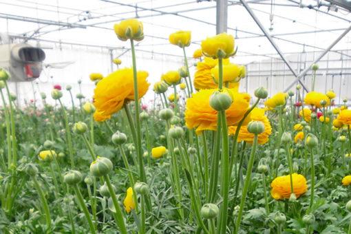 coltivazione fuori suolo di ranuncolo in grow bags - substrati a base perlite espansa