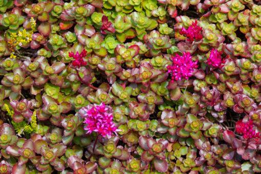 Perliroof - tetto giardino a verde estensivo - sedum e crassulacee
