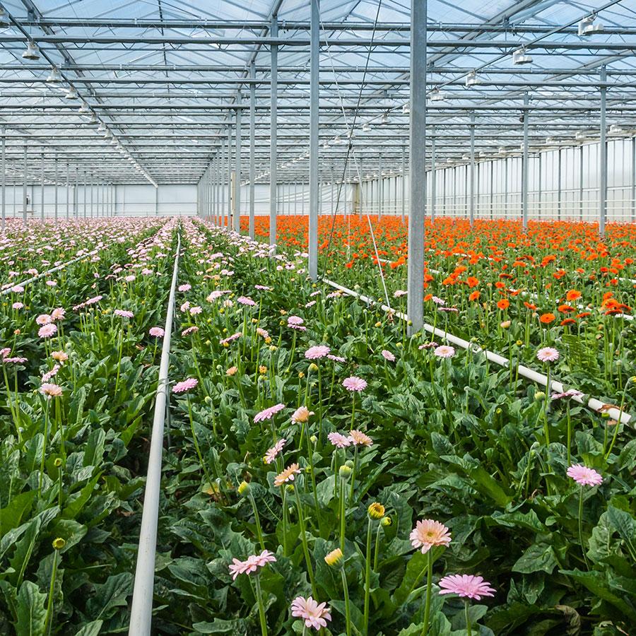 substrato di -coltivazione fuori suolo floricoltura - coltivazione gerbera