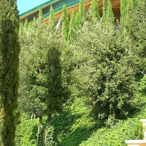 fase impianto alberi - copertura a verde intensivo con alberi di I grandezza - giardino inclinato presso Chiesa Padre Pio - Pietralcina