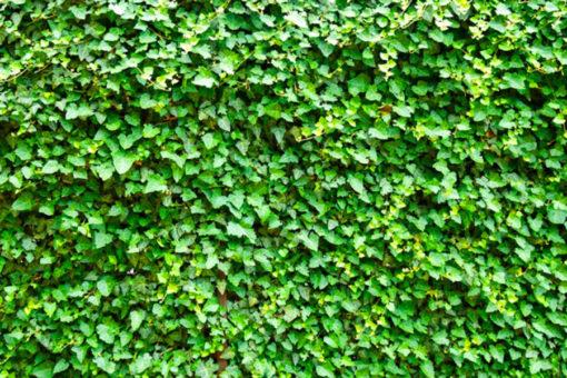 giardino verticale inverdimento con edera e specie rampicanti