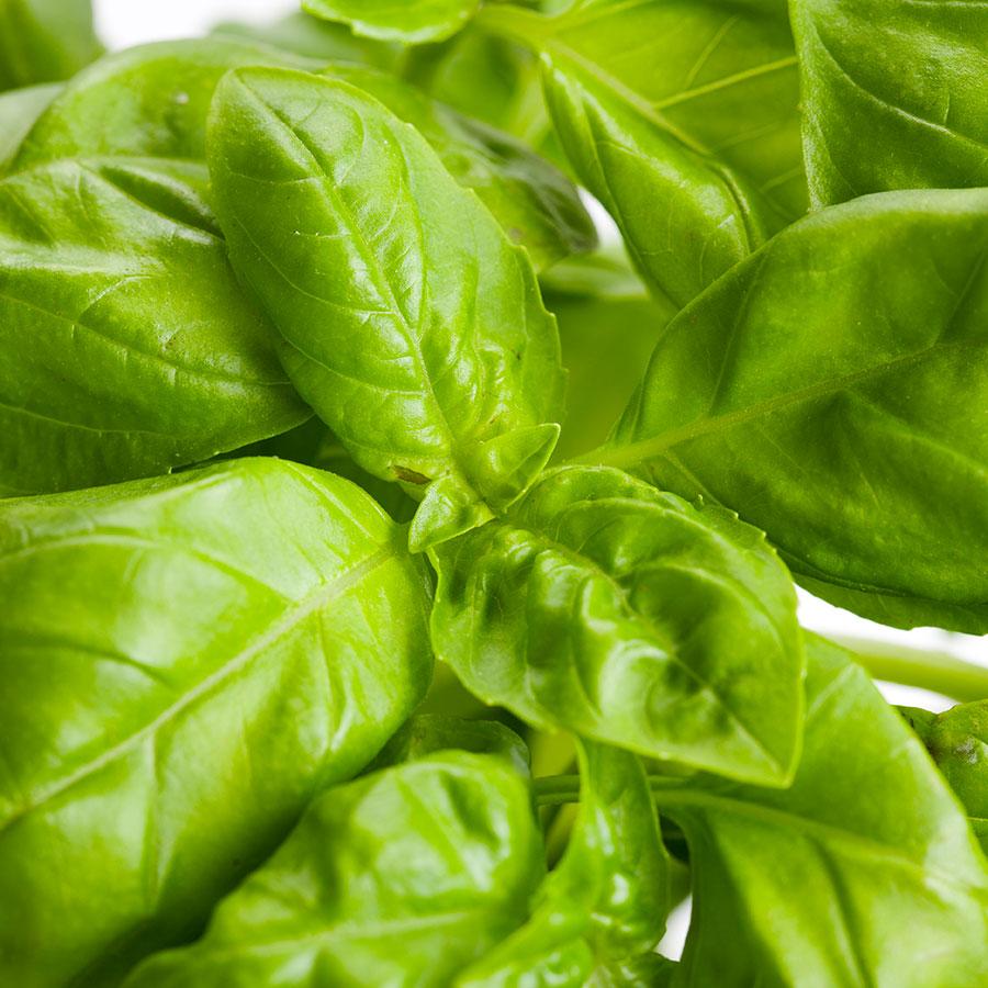 grow bags, substrati di coltivazione per il fuori suolo e terricci per orticoltura - basilico