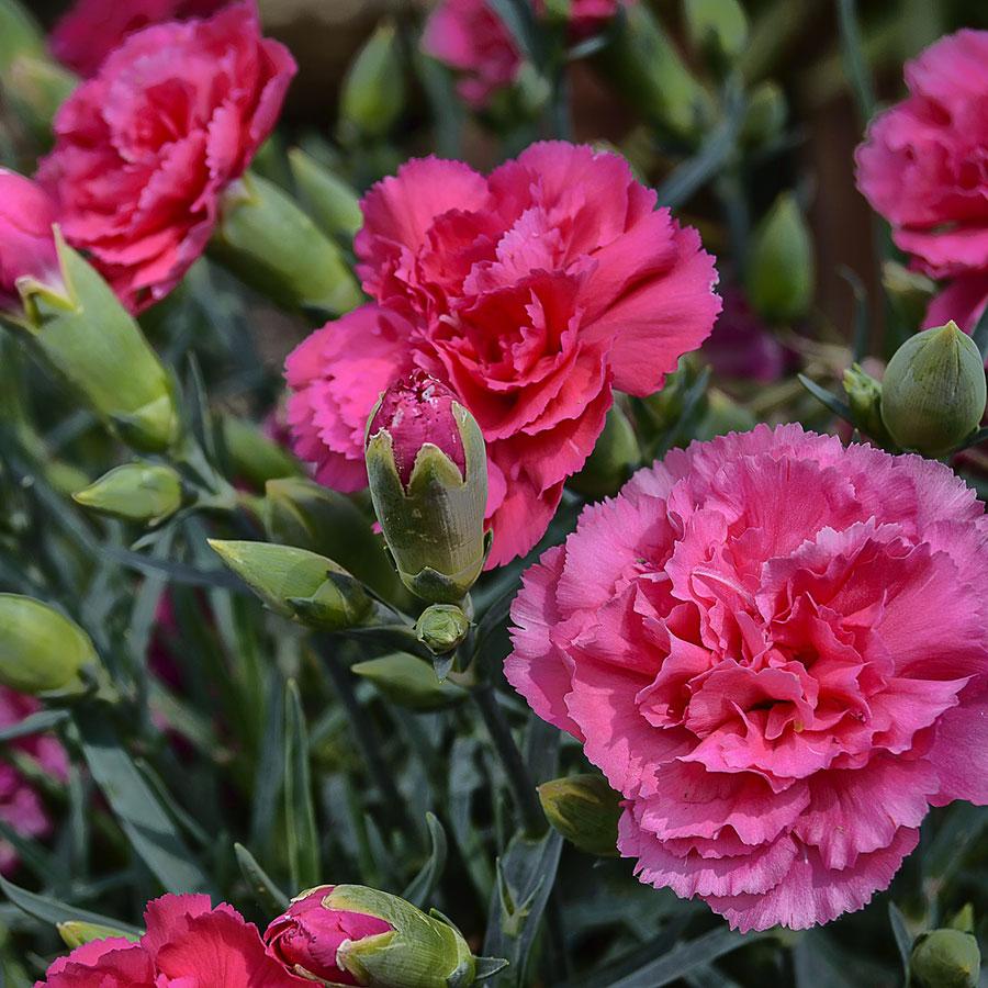 grow bags, substrati di coltivazione per il fuori suolo e terricci per la floricoltura - garofano
