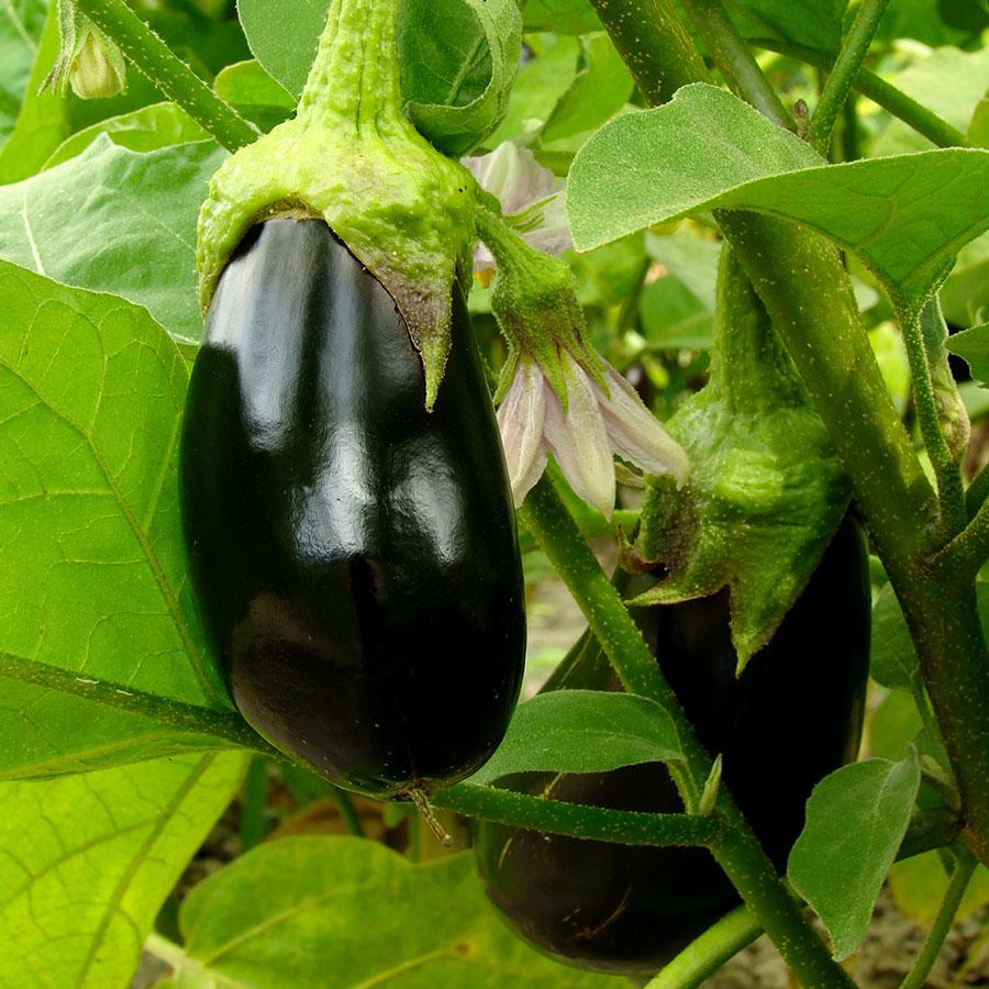 grow bags, substrati di coltivazione per il fuori suolo e terricci per orticoltura - melanzana