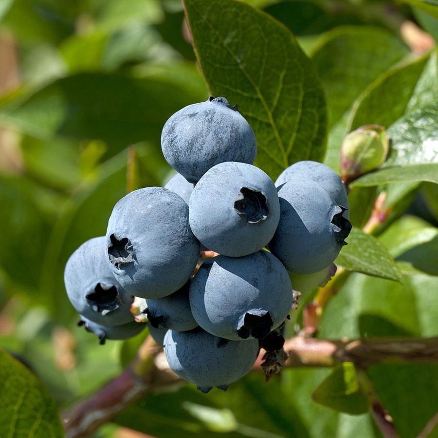 grow bags, substrati di coltivazione per il fuori suolo e terricci per piccoli frutti - mirtillo
