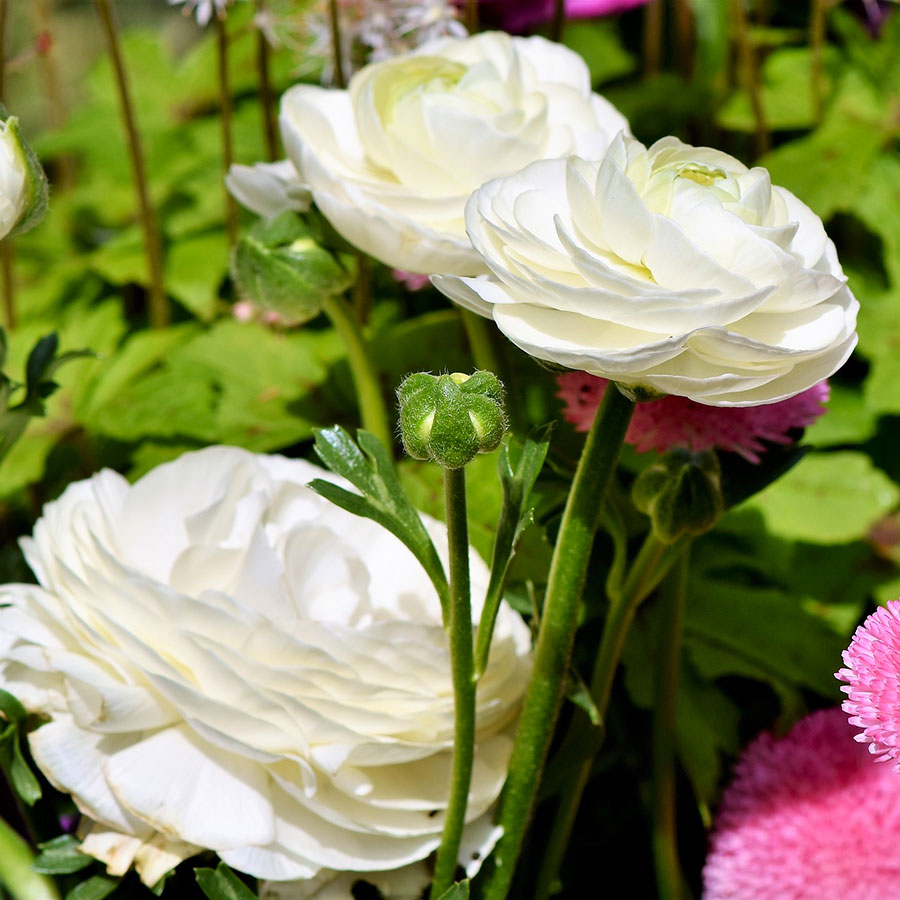 grow bags, substrati di coltivazione per il fuori suolo e terricci per la floricoltura - ranuncolo