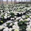 coltivazione di ortensie in vaso - terriccio con miscela a base perlite espansa, torba e cocco